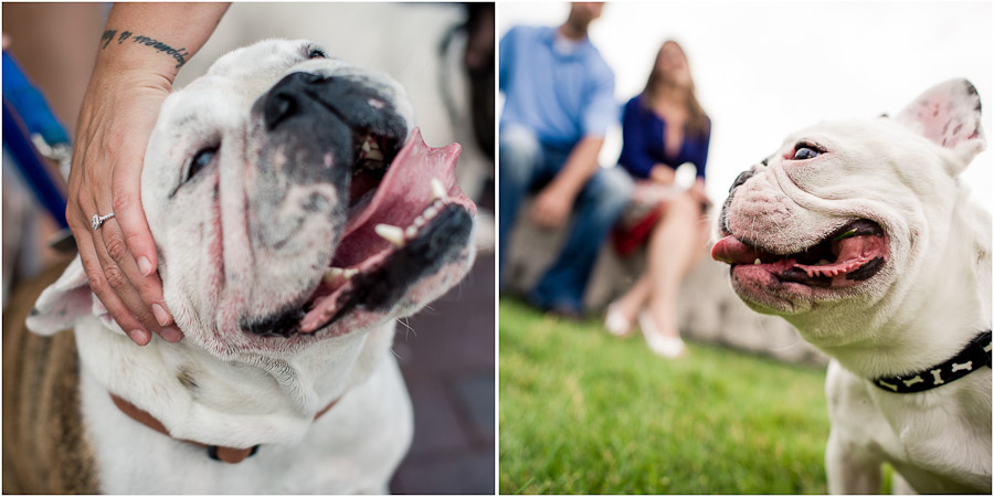Engagement Photos with pet bulldogs