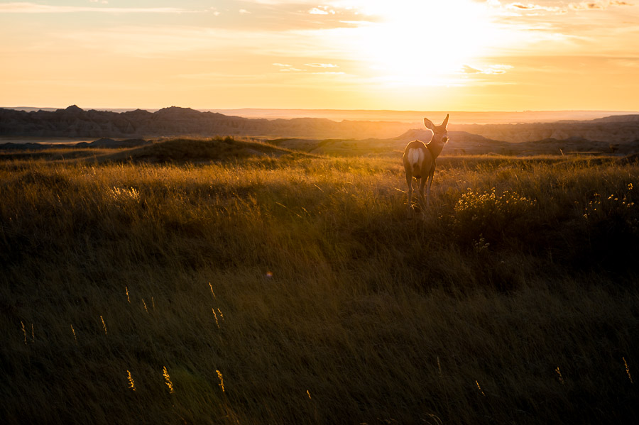 deer in the badlands